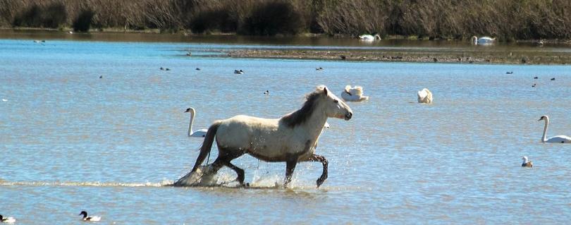 camargue-horse-in-sea